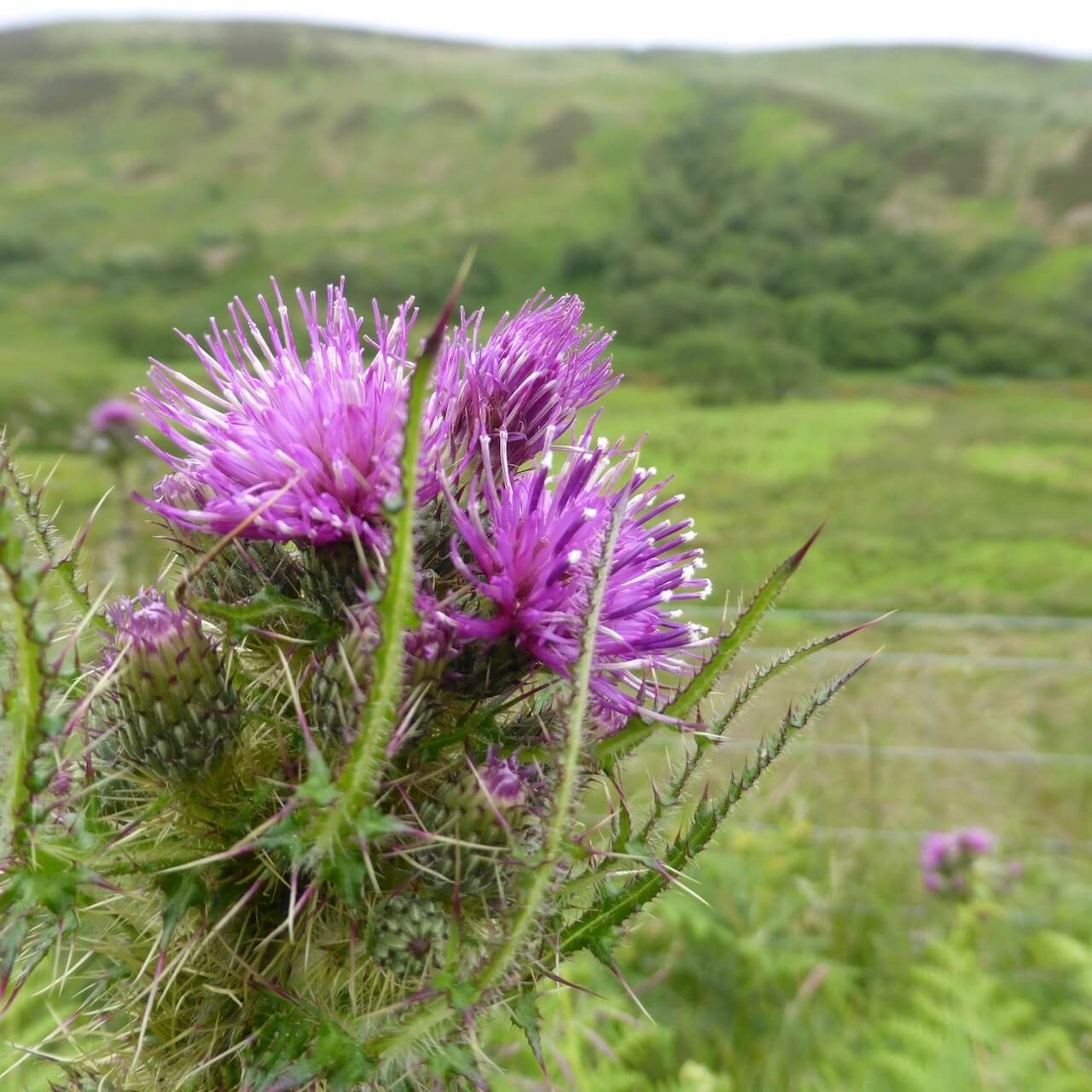 Thistle, Isle of Arran