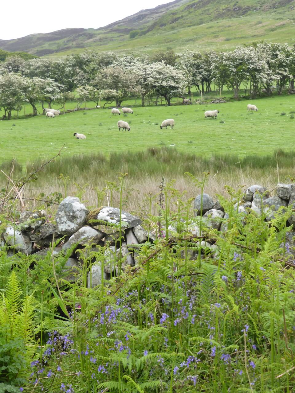 Sheep, Isle of Arran