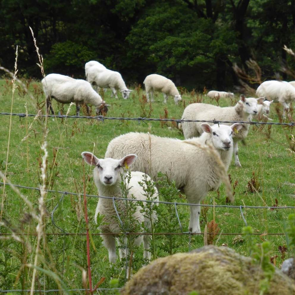 Field of sheep and lambs along the Glenkiln Loop in Dumfries and Galloway