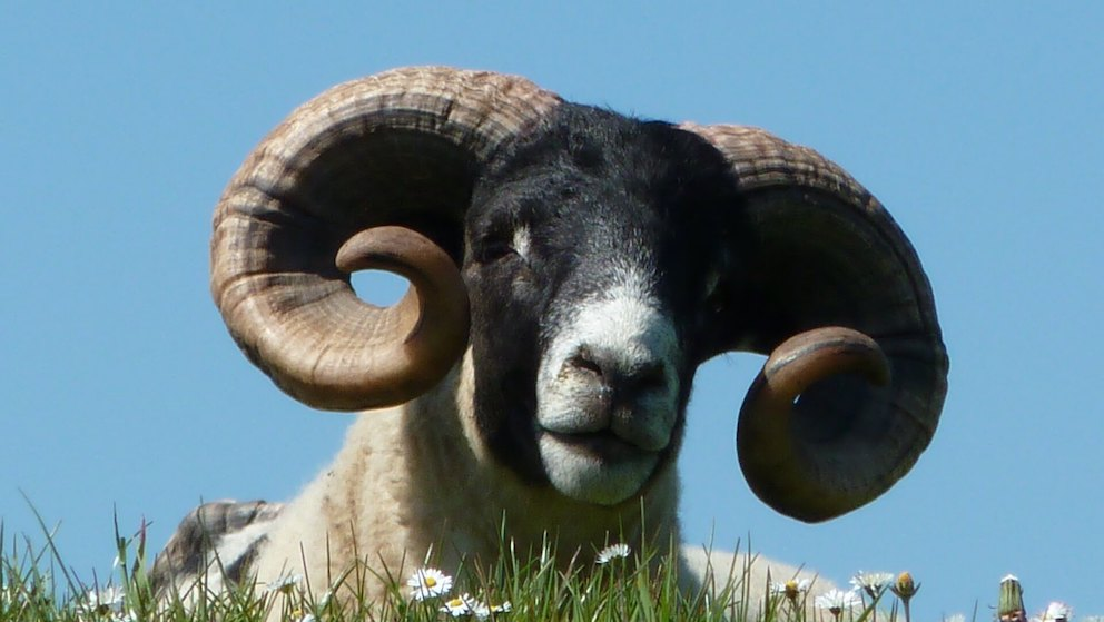 Black faced sheep with curly horns along the Glenkiln Loop in Dumfries and Galloway
