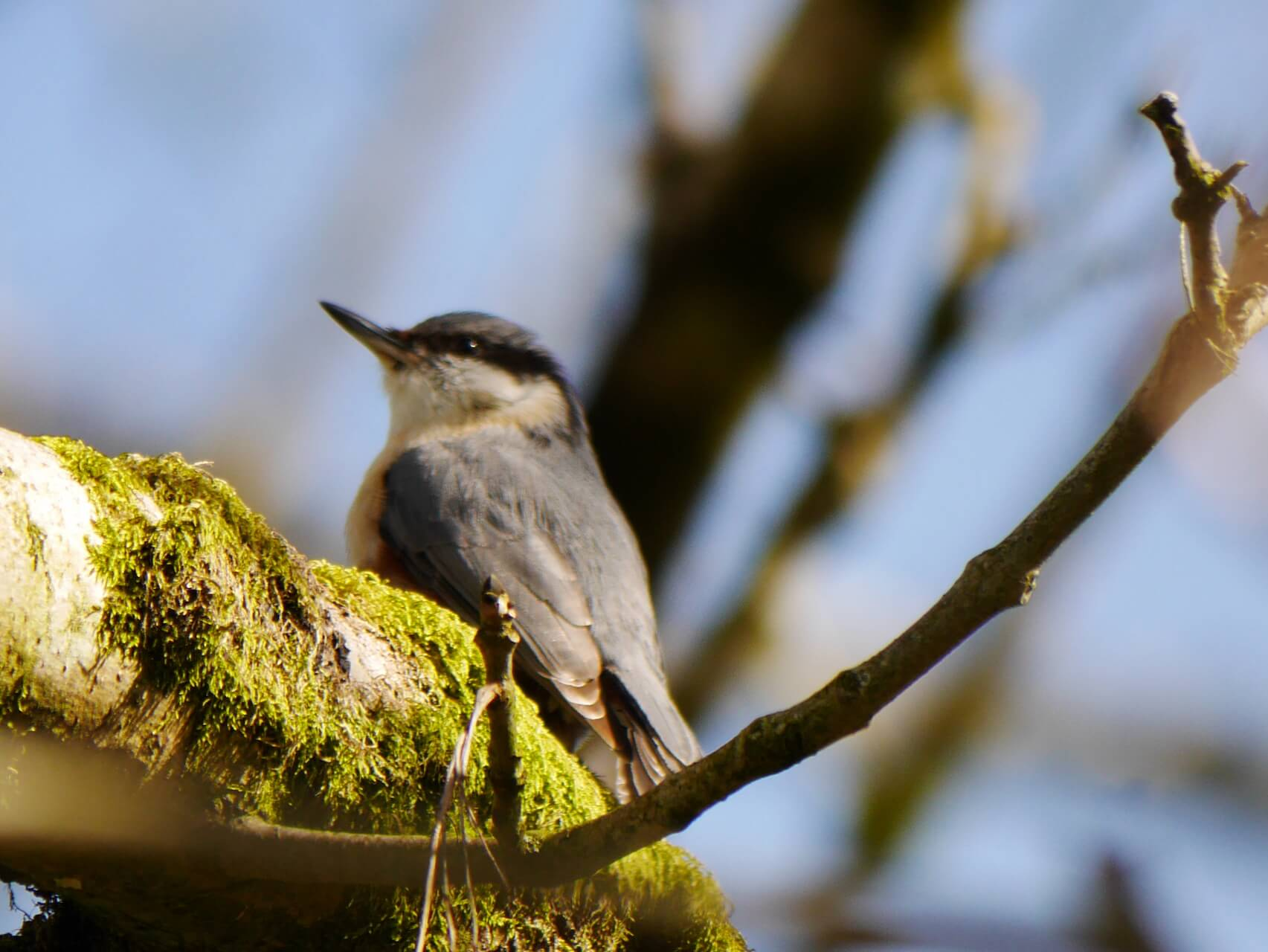Nuthatch on a mossy tree branch