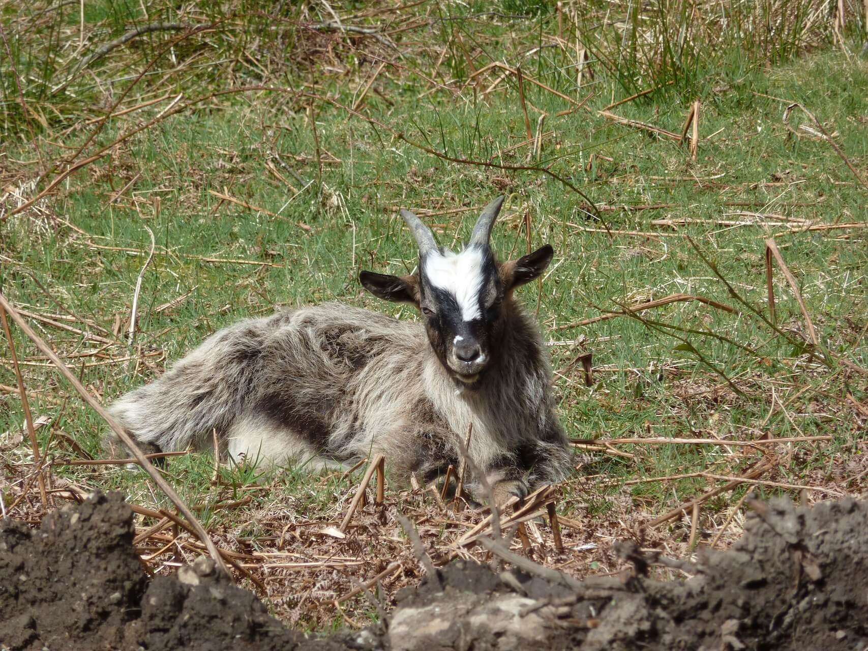 A wild goat relaxes near Inversnaid